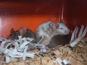 Hoe verjaag je muizen